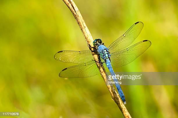 eastern pondhawk, erythemis simplicicollis, libelle - dragonfly stock-fotos und bilder