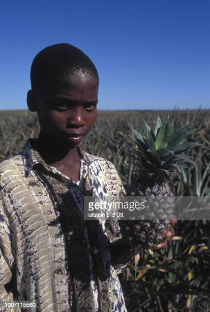 AGRICULTURE SOUTH AFRICA Eastern Province Bathurst Picking pineapples CDREF00141