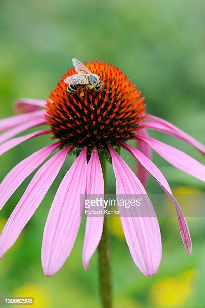 Eastern Purple Coneflower (Echinacea purpurea) with a honey bee