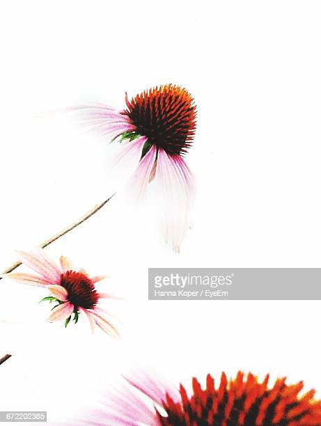 eastern purple coneflowers blooming against clear sky - koper stock photos and pictures
