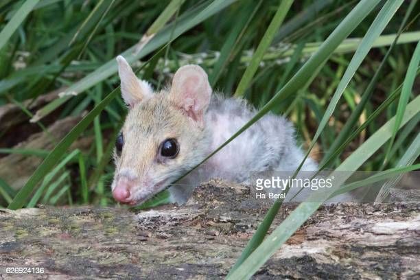 eastern quoll - carnivora stock photos and pictures