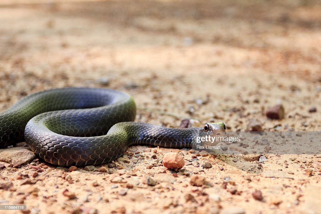 Eastern Racer Snake Stock Photo