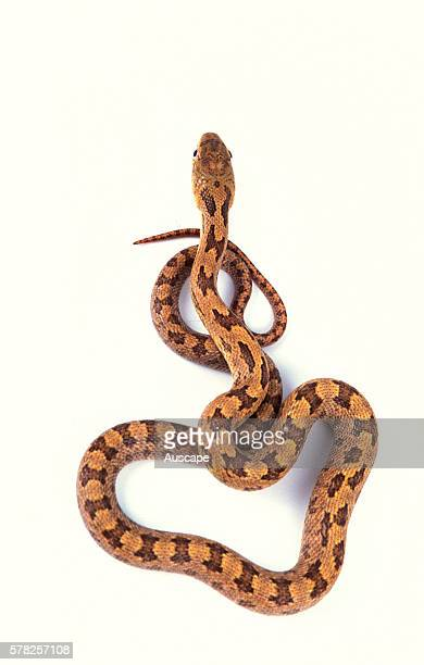 Eastern rat snake Elaphe obsoleta half coiled origin North America