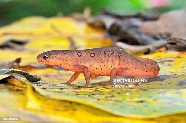 Eastern red eft newt