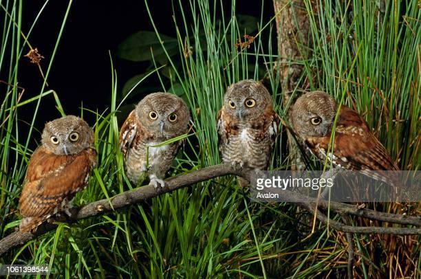 Eastern screech owl fledglings USA Date