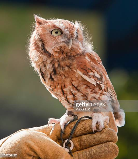 Eastern screech owl perched on a hand
