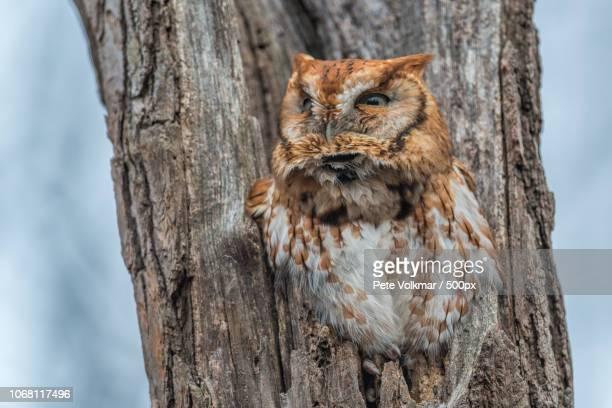 Eastern Screech Owl perching on tree