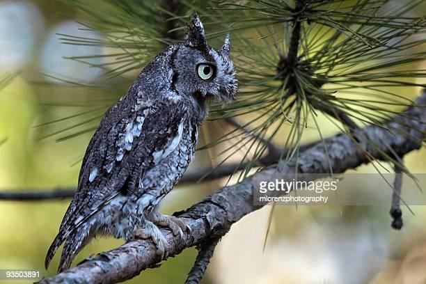 Eastern Screech Owl Screeching