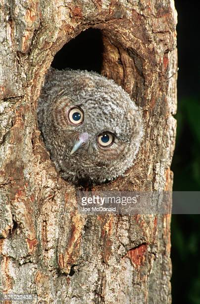 Eastern Screech Owlet Looking Out Nest Hole