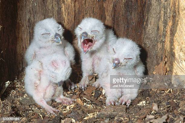Eastern Screech Owlets in Nest