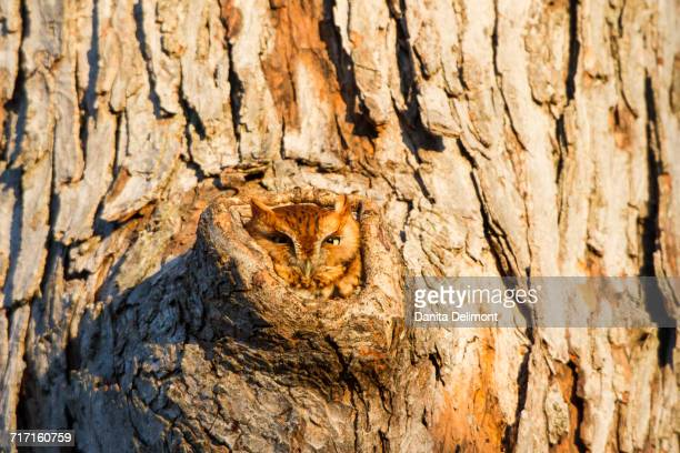 Eastern Screech-Owl (Megascops Asio) in tree hollow, Marion County, Illinois, USA
