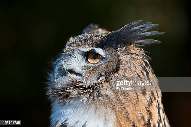Eastern Screech-Owl with prominent Ear Tufts