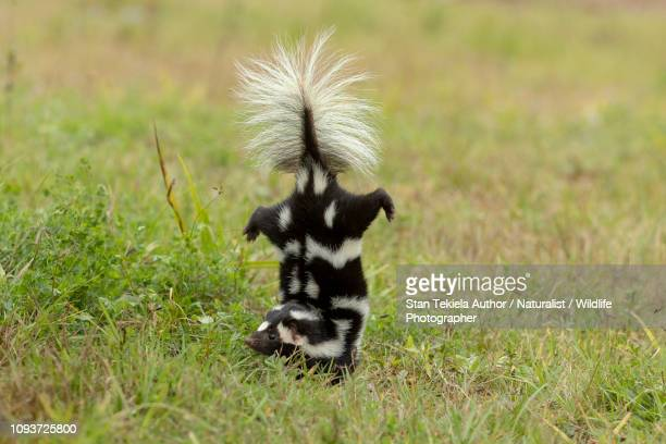 eastern spotted skunk doing handstand before spraying - skunk stock pictures, royalty-free photos & images