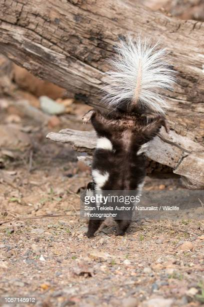 eastern spotted skunk doing handstand - skunk stock pictures, royalty-free photos & images