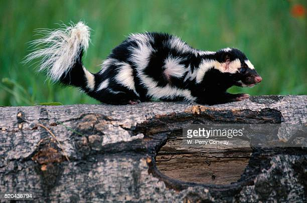 eastern spotted skunk - skunk stock photos and pictures