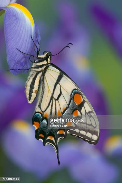 Eastern Tiger Swallowtail at Rest on a Dutch Iris