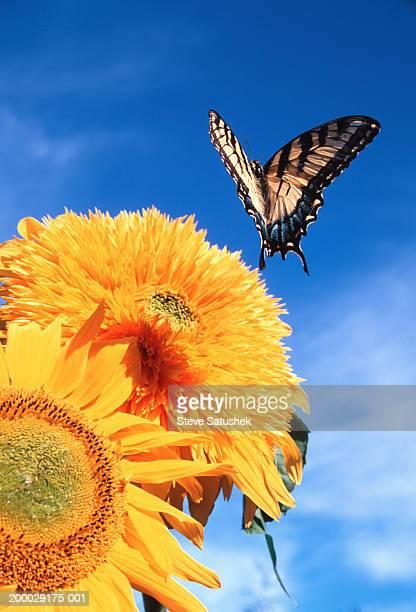 Eastern Tiger Swallowtail butterfly flying near sunflowers