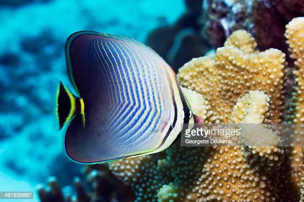 Eastern triangle butterflyfish