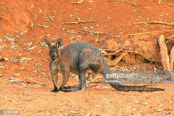 Eastern wallaroo mature male Boolcoomatta Bush Heritage Australia Reserve northeastern South Australia