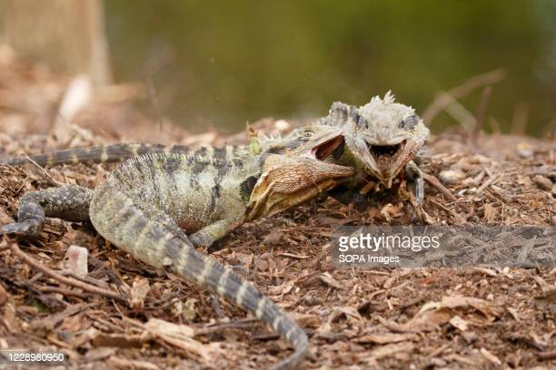 Eastern Water Dragon engaged in a territorial dispute during the Spring breeding season.