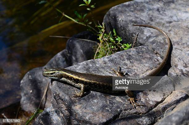 Eastern water skink Eulamprus quoyii basking on rock above the Deua River Deua National Park New South Wales Australia