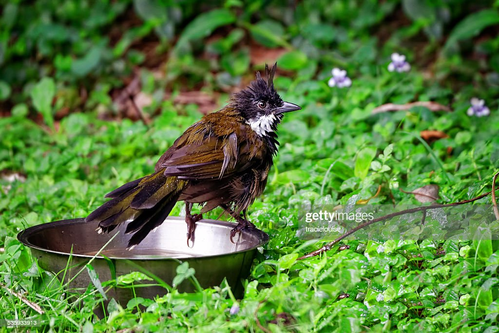 Eastern whip bird drying off : Stock Photo