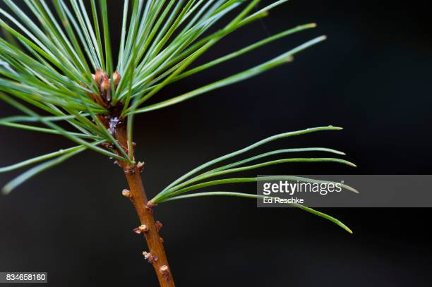 eastern white pine (pinus strobus) dissected to show 5 needles in a bundle - eastern white pine stock pictures, royalty-free photos & images