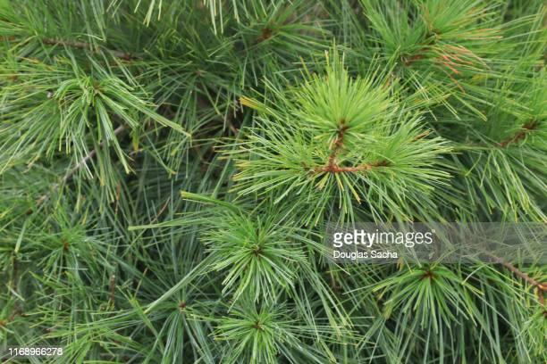 eastern white pine (pinus strobus) - eastern white pine stock pictures, royalty-free photos & images
