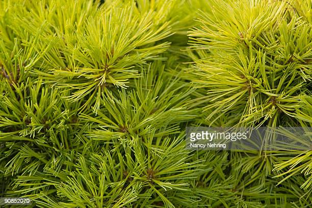 eastern white pine - eastern white pine stock pictures, royalty-free photos & images