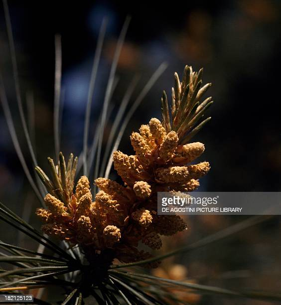 Eastern White Pine White Pine Northern White Pine Soft Pine or Weymouth Pine male inflorescences Pinaceae