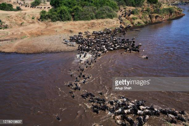 eastern white-bearded wildebeest crossing the mara river - kenya stock pictures, royalty-free photos & images