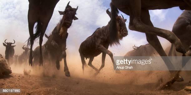 Eastern White-bearded Wildebeest herd on the move