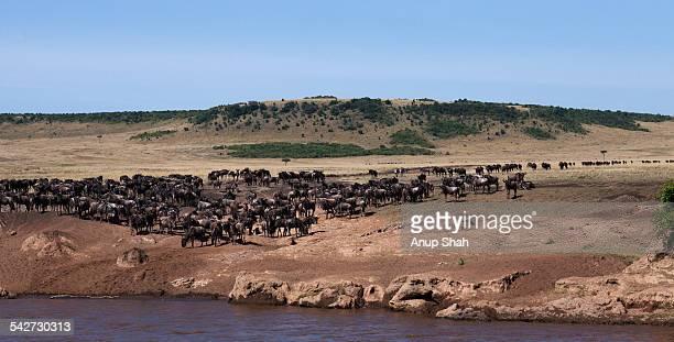 Eastern White-bearded Wildebeest herd