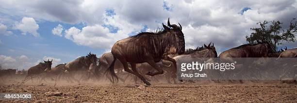 eastern white-bearded wildebeest herd running - mandria foto e immagini stock