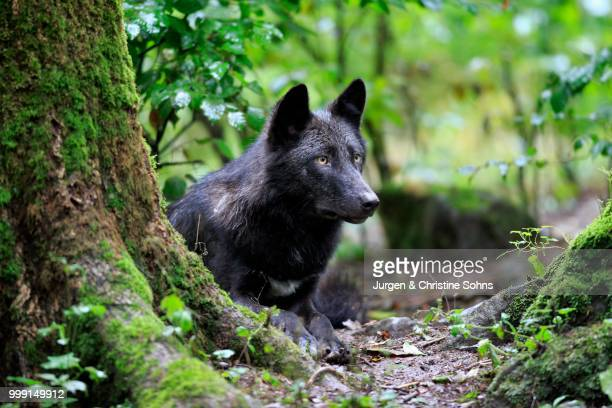 eastern wolf (canis lupus lycaon), adult, captive, eifel, germany - black wolf stock pictures, royalty-free photos & images