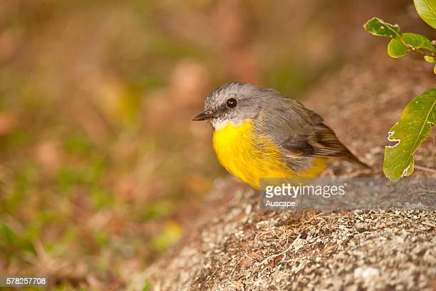 Eastern yellow robin Eopsaltria australis Lamington National Park Queensland Australia