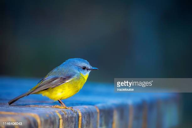 eastern yellow robin (eopsaltria australis) - songbird stock pictures, royalty-free photos & images