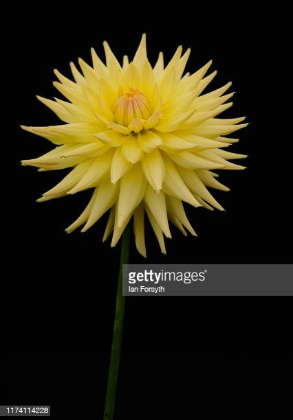 Eastwood Moonlight Dahlia is displayed during staging day for the Harrogate Autumn Flower Show on September 12 2019 in Harrogate England The UK's...