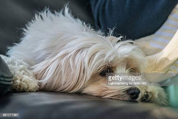 easy - lhasa apso stock photos and pictures