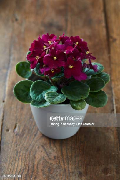 easy water method mature plant - african violet stock photos and pictures