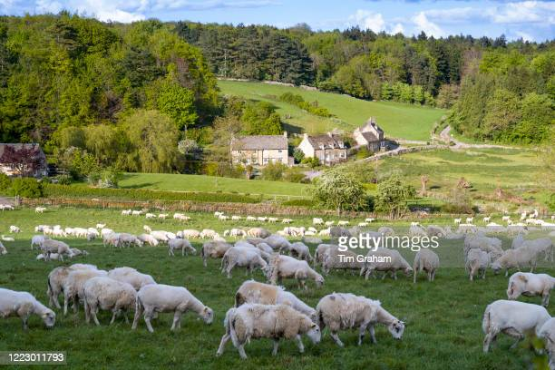 Easycare sheep a woolshedding breed with shaggy fleece that removes itself and avoids sheep shearing during Coronavirus COVID19 virus pandemic England