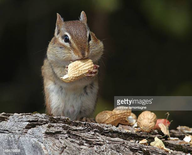Eating Chipmunk