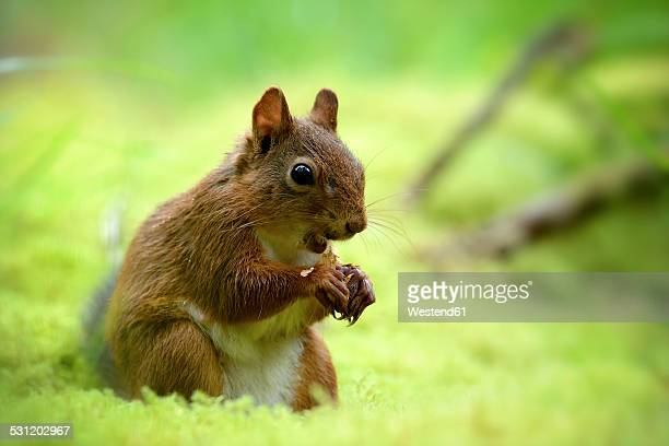 Eating Eurasian red squirrel, Sciurus vulgaris