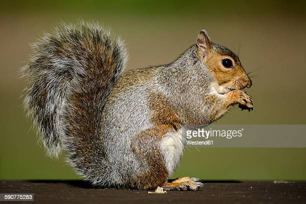 eating grey squirrel - gray squirrel stock pictures, royalty-free photos & images