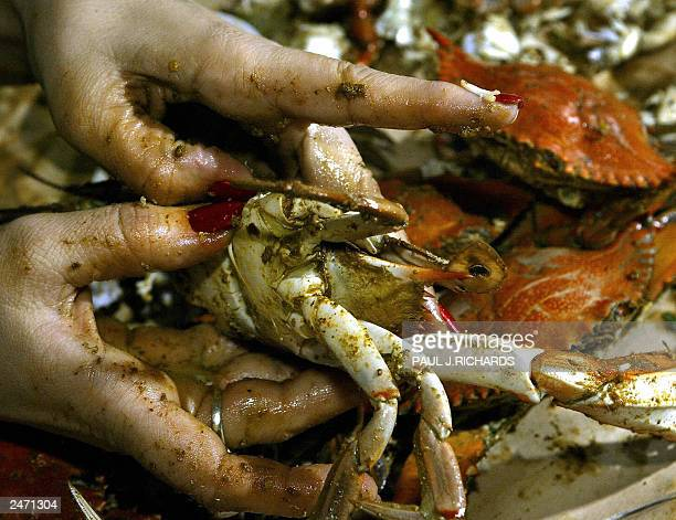 Eating steamed Blue Crabs can be a bit messy as Carolyn Wrenn of Vienna Virginia shows as she uses her manitcured fingernails to crack open a cooked...