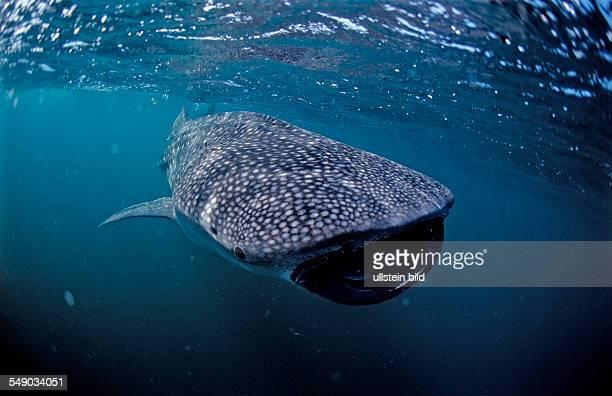 Eating Whale shark, Rhincodon thypus, Australia, Western Australia, Ningaloo Reef, Indian Ocean