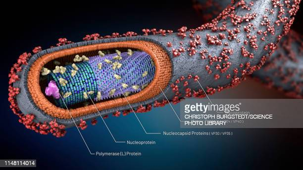 ebola virus, illustration - petechiae stock pictures, royalty-free photos & images