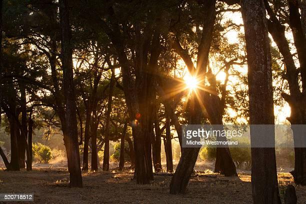 Ebony Forest, Zambia