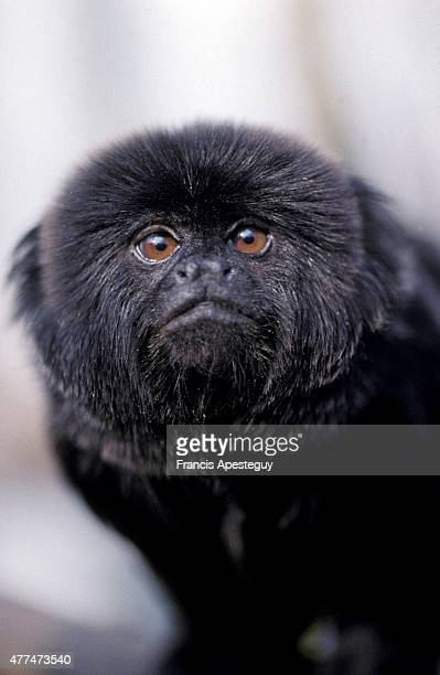 Ebony Jet Inky Sooty and Nat are Goeldi's monkeys The Callimico goeldii of South America has features typical of both monkeys and marmosets The...