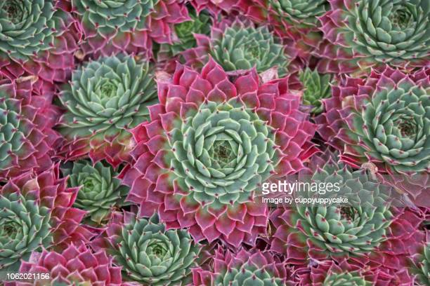 echeveria elegans - succulent stock pictures, royalty-free photos & images